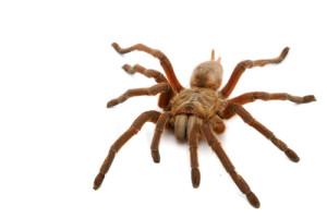brown spider (2A)