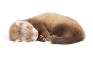 sleeping ferret (3D)